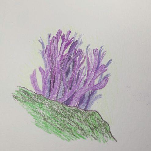 Violet Coral